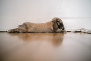 floppy eared bunny on hardwood floor
